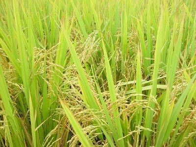 丰南胭脂稻