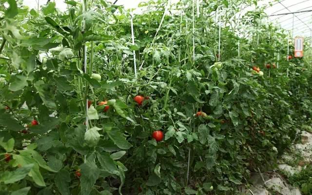 从播种开始,番茄的管理就是一项庞大工程,吊蔓,打芽,疏花疏果,剔除