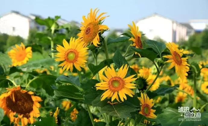 夏日小清新,成都向日葵花开了
