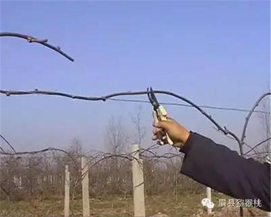 猕猴桃一生有四个发育时期,分别为幼树期、初果期、盛果期、衰老期。一般幼树期14年,初果期23年,盛果期1535年,衰老期510年。修剪应按不同树龄时期的生长发育习性,采取不同的整形修剪措施。冬季修剪应在树体养分回流完全后进行。 幼树期一般指从定植到开始结果前这段时间。这一时期的整形修剪宗旨是培养树体骨架结构,扩大树冠,促使树形形成,增加枝叶量,积累树体营养。良好的树体骨架,枝条在架面合理分布,充分利用空间和光能,便于田间作业、降低生产成本;调节地下部与地上部、营养生长与结果的关系,调节营养物质的生产