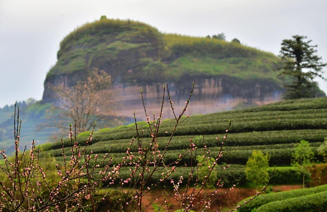 武夷山市星村镇的生态茶山(3月26日摄).